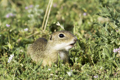 Souslik or European Ground Squirrel (Spermophilus citellus) Stock Images