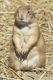 Souslik (ground squirrel). Summer close-up shot of the souslik (ground squirrel Royalty Free Stock Photos
