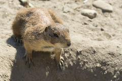 Souslik (ground squirrel) Royalty Free Stock Photo