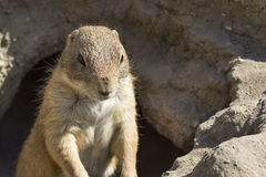 Souslik (ground squirrel) Stock Photos