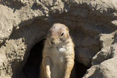 Souslik (ground squirrel) Stock Image