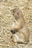 Souslik (ground squirrel) Royalty Free Stock Images