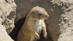 Souslik (ground squirrel) Royalty Free Stock Image