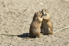 Free Souslik (ground Squirrel) Couple Royalty Free Stock Photo - 25324545
