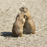 Souslik (ground squirrel) couple Royalty Free Stock Photo