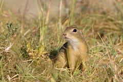 Souslik lub Europejska Zmielona Wiewiórka (Spermophilus Zdjęcia Stock