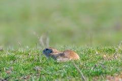 Souslik Spermophilus citellus European ground squirrel in the natural environment. Wildlife royalty free stock images