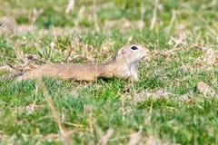 Souslik Spermophilus citellus European ground squirrel in the natural environment. Wildlife royalty free stock image
