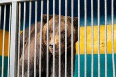 Soutenez en captivité dans un zoo derrière des barres Puissance et agression dans la cage Images stock