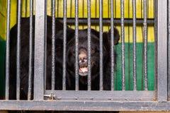 Soutenez en captivité dans un zoo derrière des barres Puissance et agression dans la cage Image libre de droits