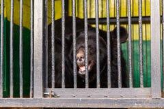 Soutenez en captivité dans un zoo derrière des barres Puissance et agression dans la cage Photographie stock