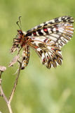Soutern festoon butterfly resting - seen ventraly Royalty Free Stock Photos