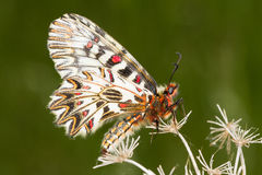 Soutern festoon butterfly resting - seen ventraly Stock Photos