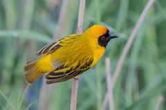 Soutern Masked Weaver Stock Photo