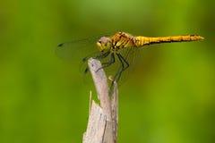 Soutern Wężowy Dragonfly zdjęcia stock