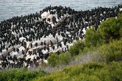 South Africa beach coast. South Africa beach with cormoran birds Royalty Free Stock Photo