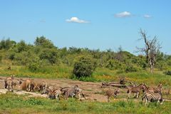 South Africa Bushveld. Herd of zebras grazing in South Africa bushveld Royalty Free Stock Images