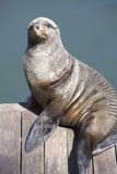 South Africa,Cape Town,seal sitting on pier stock photo