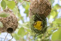 Cape weaver bird royalty free stock photos