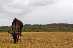 South Africa, Hluhluwe Imfolozi Game Reserve, KwaZulu-Natal. Safari in South Africa, 28/09/2009: a gnu feeding in the Hluhluwe Imfolozi Game Reserve, the oldest Royalty Free Stock Photos