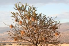 South Africa  landscape and wildlife tree with nest. South Africa encompasses one of the most diverse landscapes on the entire continent, with habitats ranging Stock Photography