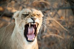 South Africa lioness screaming. South Africa closeup of a lioness screaming on savannah at dusk. Kapama private game reserve. South Africa stock images