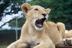 South Africa little lion cub Royalty Free Stock Photo