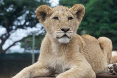 South Africa little lion cub Royalty Free Stock Photos