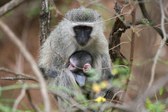 South Africa Monkeys. Mother and baby Vervet monkey at Kruger Park Reserve in South Africa. Wildlife Stock Photos