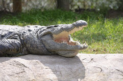 South Africa - Nile's Crocodile Royalty Free Stock Image