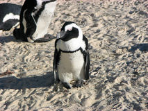 South Africa penguin. Penguins on South Africa shores Stock Image