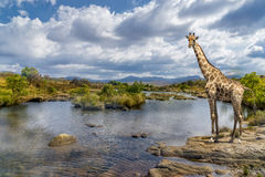 South africa river giraffe Stock Images