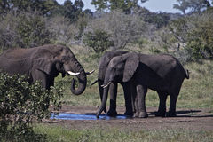 South Africa's Wildlife. A herd of African Elephants with big ears, tusks and trunks are standing close together at a waterhole, drinking and playing with the Stock Photography