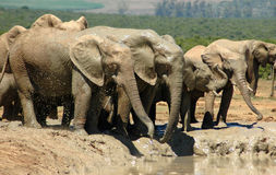 South Africa's wildlife. A herd of African Elephants with big ears, tusks and trunks are standing close together at a waterhole, drinking and playing with the royalty free stock photography
