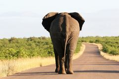 South africa's wildlife. A big elephant roadblock, walking on the road in Kruger National Park in South Africa Stock Photo