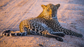 South Africa - Sabi Sand Game Reserve Stock Image
