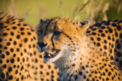 South Africa - Sabi Sand Game Reserve Royalty Free Stock Photo