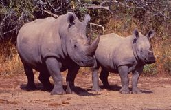 South Africa: Two Rhinos, Mother and Child in the bush royalty free stock photo
