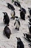 South Africa, Western Cape, Cape Peninsula, penguin, penguins, beach, Boulders Beach, Simon's Town, wildlife reserve. South Africa, 18/09/2009: penguins Stock Images