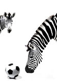 South africa zebra and soccer ball Royalty Free Stock Photo