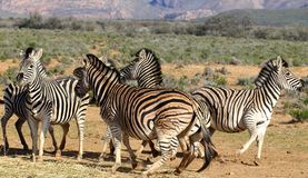 South Africa Zebras Playing Stock Photography