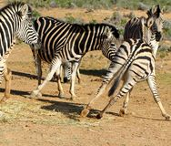 South Africa Zebras Playing Stock Photos