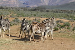 South Africa Zebras Playing Royalty Free Stock Photos