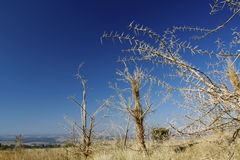 South African Acacias. Thorny acacia trees in early spring in South Africa in the Cradle of Mankind, showing a deep blue sky over the pleins Royalty Free Stock Photos