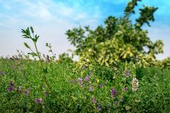South African Alfalfa field with purple flowers. South African green Alfalfa field with blooming purple flowers and a blue sky with white clouds. Northerncape royalty free stock image