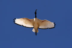 South african bird. Bird shot from beneath in capetown SA Stock Images