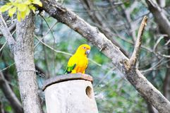 South African bird wildlife. The yellow bird Stock Image