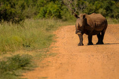South African Black Rhino Royalty Free Stock Images