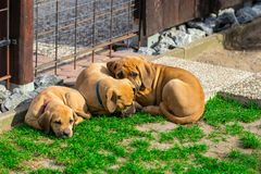 South african Boerboel puppies - the Game outside in the garden.  Stock Image