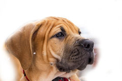 South African Boerboel Royalty Free Stock Photos